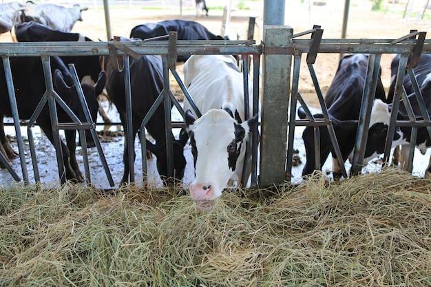 Vacas comendo feno no estábulo