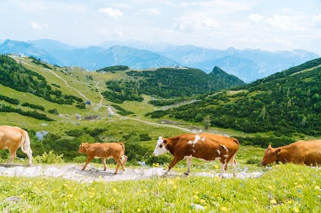 Vacas e filhotes passam os meses de verão em um prado alpino nos alpes