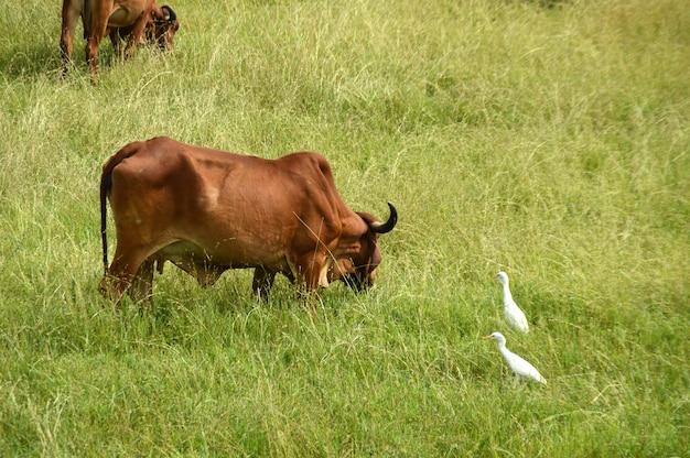 Vacas e touros pastam em um campo de grama exuberante