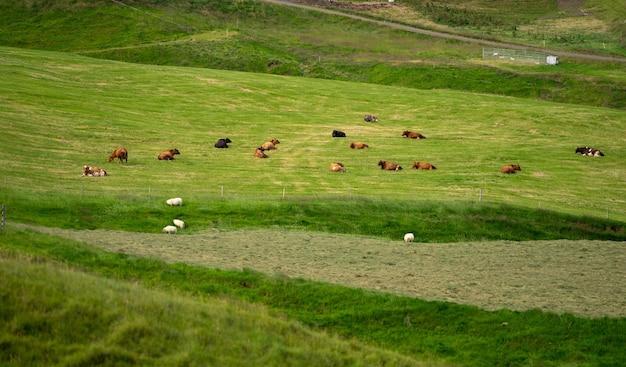 Vacas em campo verde vista aérea de vacas em campo verde