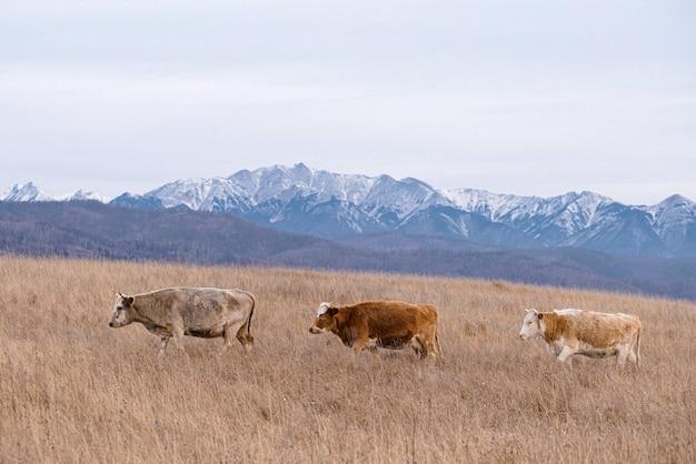 Vacas em estado selvagem três vacas no fundo das montanhas