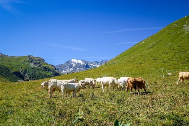 Vacas em pastagem alpina, pralognan la vanoise, alpes franceses