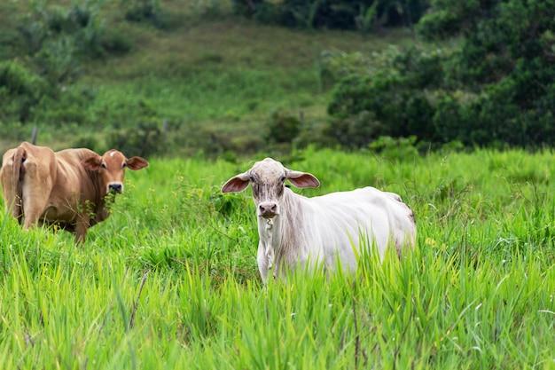 Vacas em um campo grama verde olhando para o foco seletivo da câmera