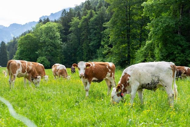 Vacas em um campo verde