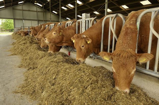 Vacas em um celeiro