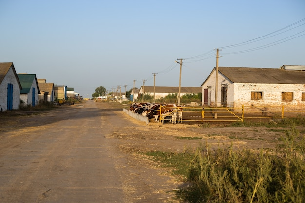 Vacas em um curral em uma fazenda