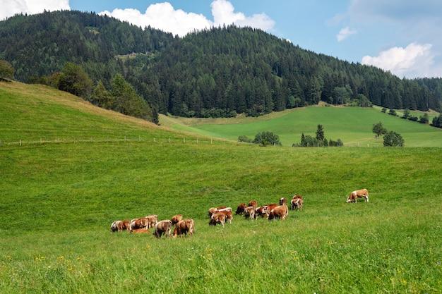 Vacas em um pasto alpino verde em um dia de verão