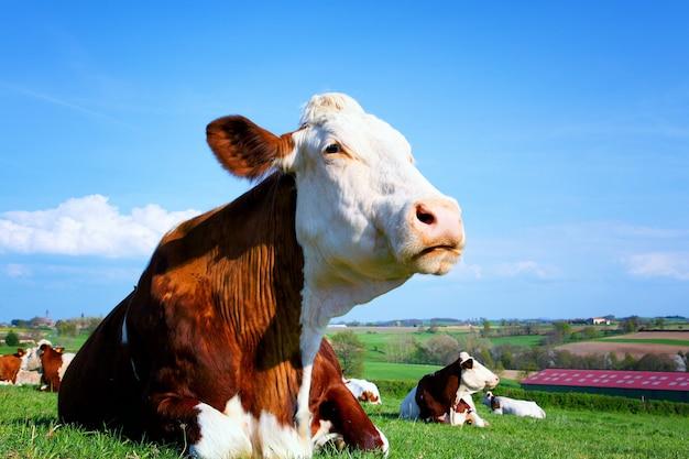 Vacas em um prado verde de verão em um dia ensolarado