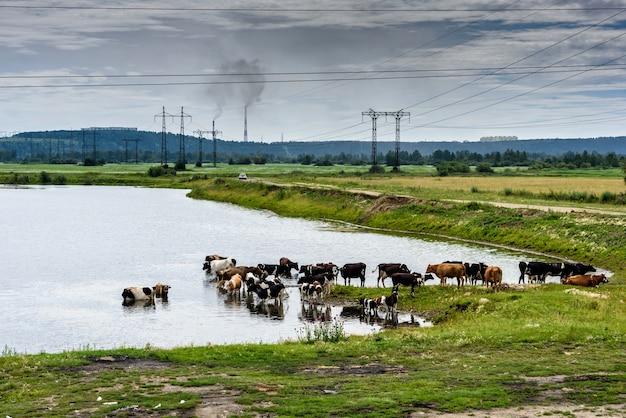 Vacas em um prado verde na zona rural industrial ao ar livre perto de postes com nuvens azuis