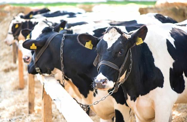 Vacas em uma fazenda