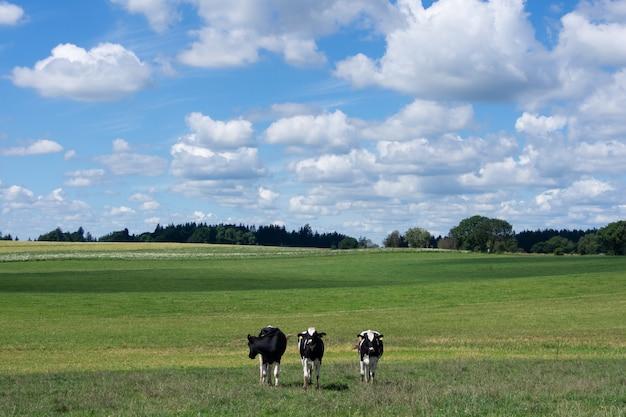 Vacas em uma pastagem de verão