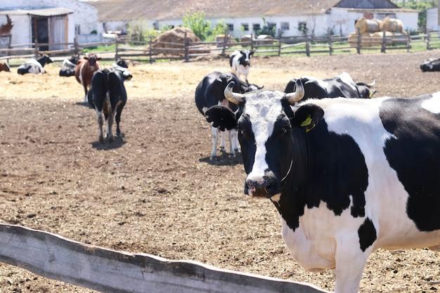 Vacas fazenda de gado leiteiro ao ar livre. vaca preto e branca em primeiro plano