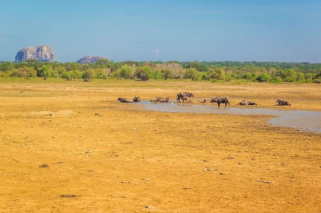 Vacas grandes com lago no sri lanka