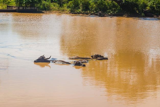 Vacas grandes nadando em um lago no sri lanka