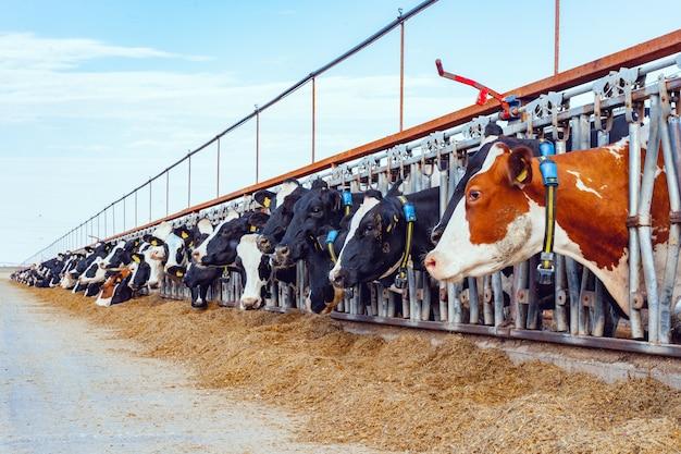 Vacas leiteiras comendo feno em um estábulo ao ar livre
