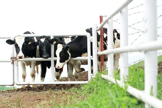 Vacas leiteiras holstein preto e branco em pé em uma linha na vedação