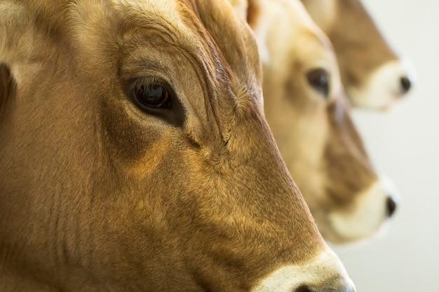 Vacas leiteiras suíças marrons em uma leiteria