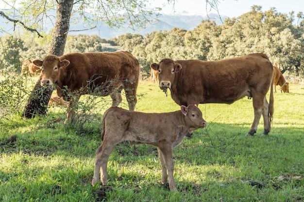 Vacas limousin marrom no campo
