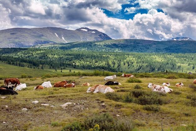 Vacas livres estão descansando em um pasto de montanha em dia de verão. vacas pastam livremente nas montanhas