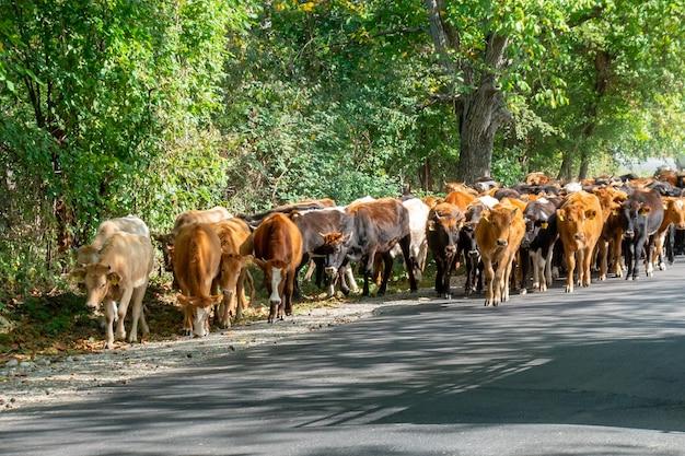 Vacas marrons na estrada de kakheti. geórgia. animais. agricultura.