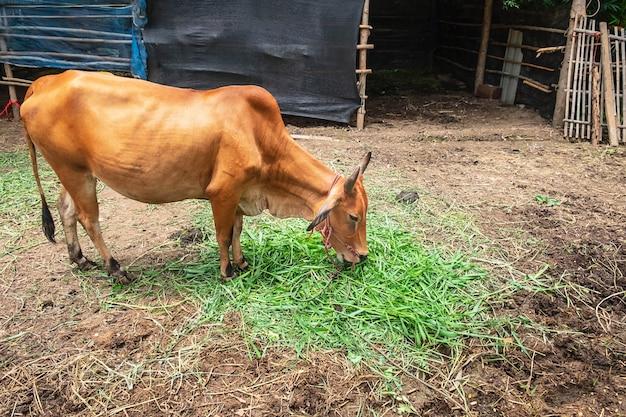 Vacas marrons pastam na fazenda.
