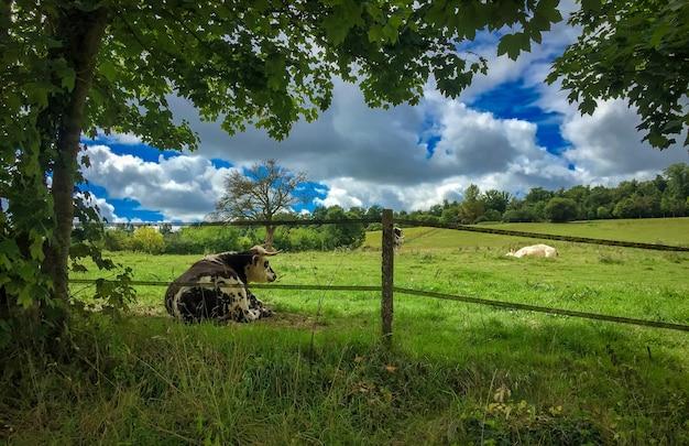 Vacas na encosta de uma colina