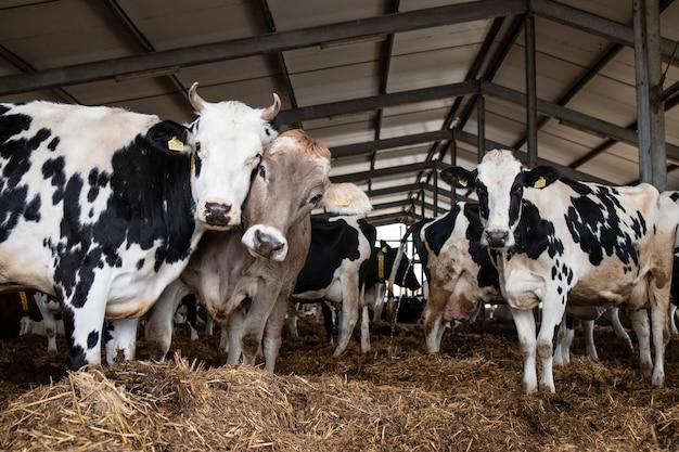 Vacas na fazenda de animais domésticos para produção de carne ou leite e criação.