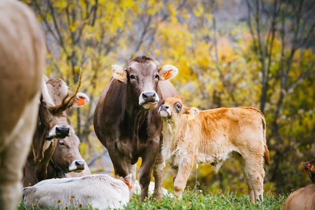 Vacas na montanha