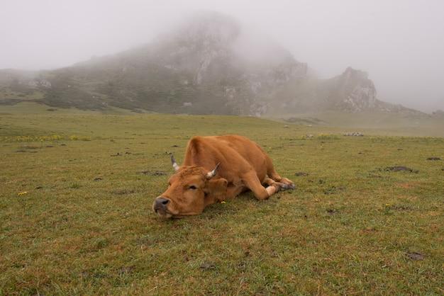 Vacas na natureza