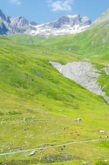 Vacas na paisagem dos alpes europeus no verão
