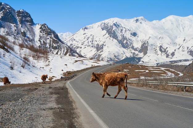 Vacas nas montanhas da geórgia. animais pastam ao longo da estrada. paisagem incrível de montanha ao fundo.