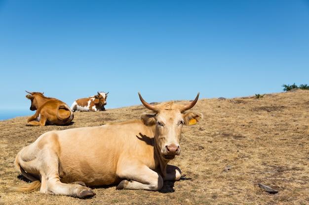 Vacas nas montanhas