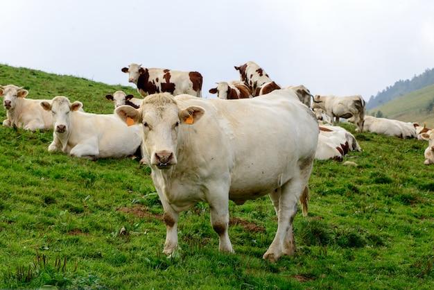 Vacas nas pastagens de montanha