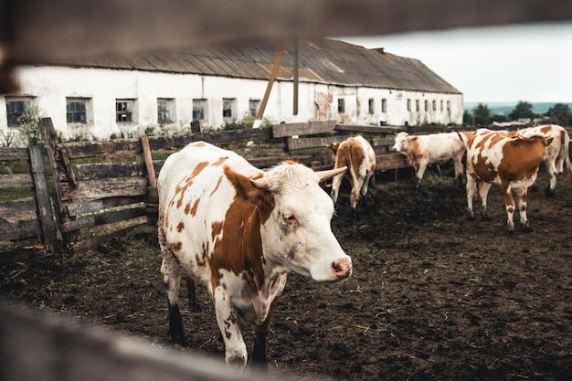 Vacas no formulário. leite, produção de carne. animais domésticos.