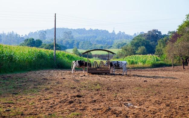 Vacas no lugar molhando