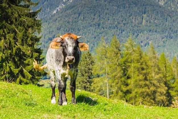 Vacas nos prados verdes dos alpes