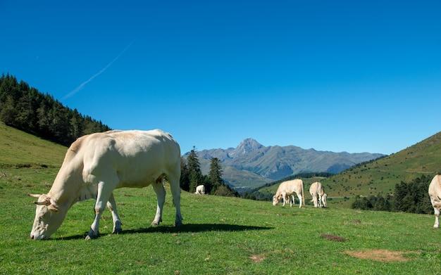 Vacas pastando em pastagens dos pirinéus, pic du midi