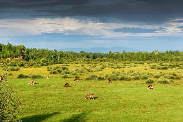 Vacas pastando em um prado verde ensolarado de verão
