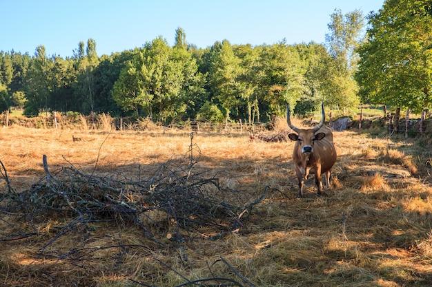 Vacas pastando, espanha