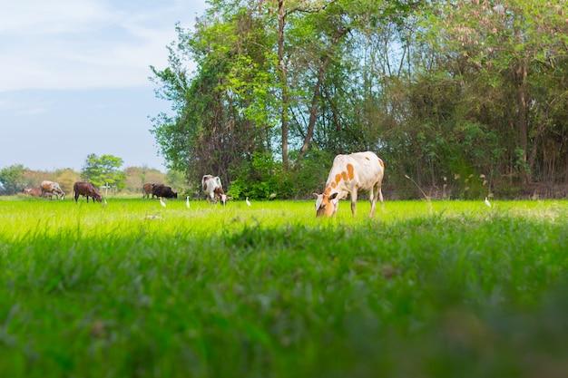 Vacas pastando na fazenda com campo verde em dia de bom tempo