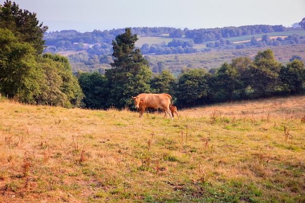 Vacas pastando na zona rural espanhola