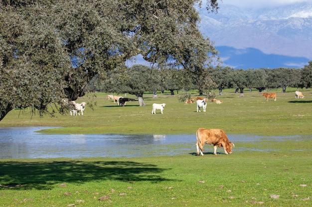 Vacas perto de um lago sob a luz do sol e grandes montanhas cobertas por lindas nuvens