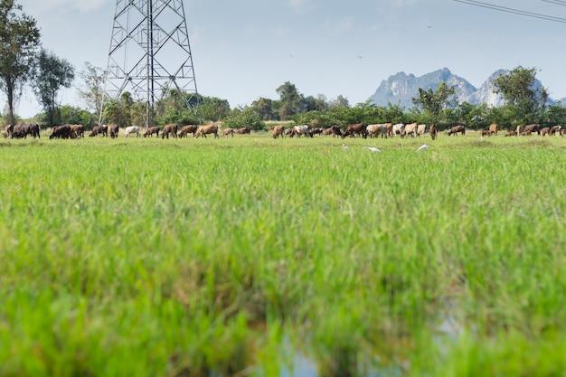 Vacas que pastam na fazenda com campo verde em dia de bom tempo