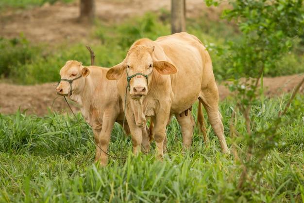 Vacas que pastam no close up disparado, cena rural.