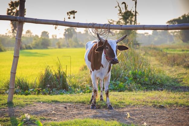 Vacas tailandesas em campo na tailândia