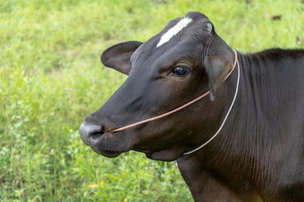 Vacas tailandesas no curral aguarde o matar para vender na tailândia, carne crua, cara de vaca
