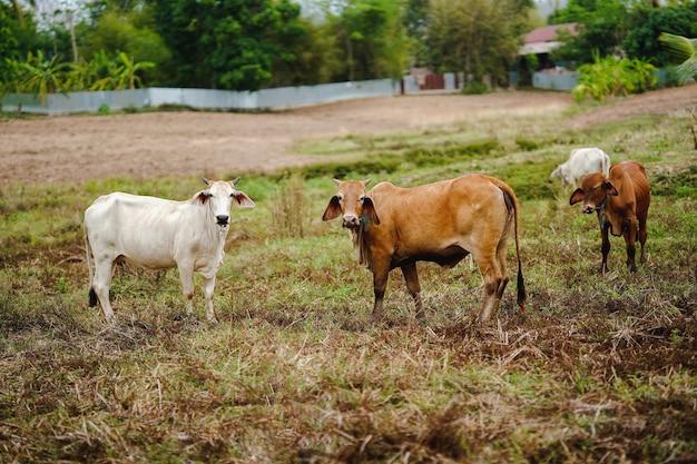 Vacas tailandesas olham para a frente em um rebanho em um campo verde.