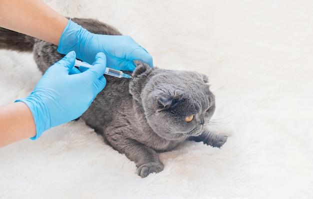 Vacinação de gatos. foco seletivo de medicina veterinária.