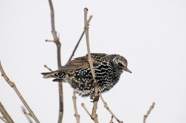 Vadnais heights, minnesota. estorninho europeu, sturnus vulgaris no inverno com casaco de inverno de penas.