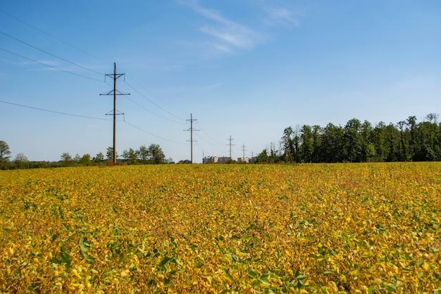 Vagem de soja cheia de feijão em um campo contra o céu